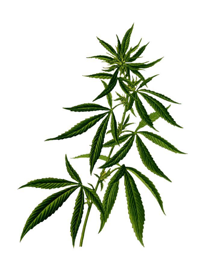 Optymalne warunki do uprawy marihuany wewnątrz